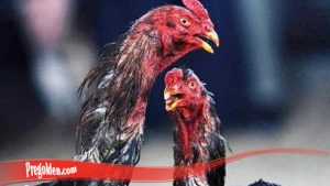 Kiat merawat Ayam Jago Sebelum Duel