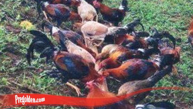 Kupas Teknik Mudah Ternak Ayam Super