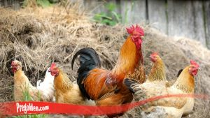 Lebih Dekat Kenali Habitat Sifat Ayam