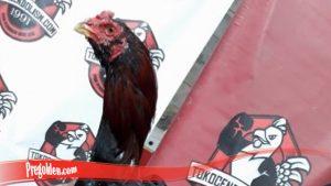 Mengupas Fakta Seputar Ayam Brewok S128