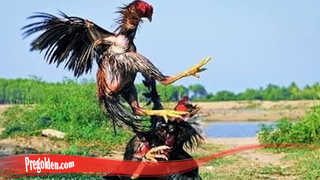 Kupas Lengkap Teknik Mematikan Bongkar Ayam Bangkok