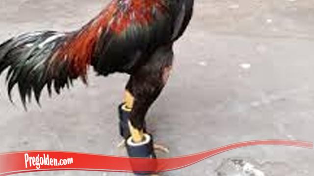 Kupas Teknik Lekap Besarkan Otot Kaki Ayam S128