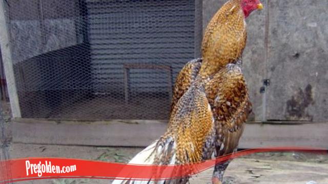 Lengkap Teknik Tumbuhkan Bulu Ayam SV388